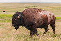 American Bison Bull (Bison bison) Walks By Stock Image