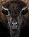 American Bison II Royalty Free Stock Photo