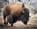 American Bison IV Royalty Free Stock Photo