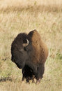 American bison portrait of or buffalo stood on grassland Stock Image