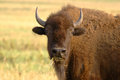 American bison portrait of eating hay Royalty Free Stock Image