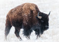 American Bison Royalty Free Stock Photo