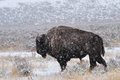 American bison in yellowstone park Stock Photos
