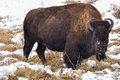 American bison in yellowstone park Stock Image