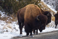 American bison in yellowstone park Royalty Free Stock Photo
