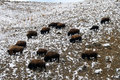 American bison in yellowstone park Stock Images