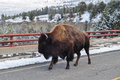 American bison in yellowstone park Royalty Free Stock Image