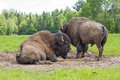 American bisons two huge males bison bison bison in spring Stock Photos