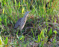 American Bittern - 1 Royalty Free Stock Photos