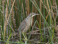 American Bittern Royalty Free Stock Photo