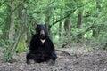 American black bear Stock Image