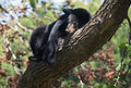American Black Bear Stock Images