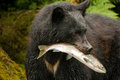 American black bear adult with pink salmon in mouth Royalty Free Stock Image