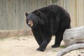 American black bear the adult in zoo Royalty Free Stock Photo