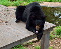 American black bear in captivity on wooden platform Royalty Free Stock Image