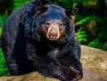 American black bear close up of an sunbathing on a rock Stock Photo