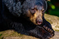 American black bear close up of an sunbathing on a rock Royalty Free Stock Images