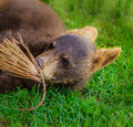 American black bear cub baby worrying a pine branch on green summer grass Stock Photos