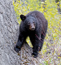 American black bear cub a medium sized native to north america bears climb trees with ease Royalty Free Stock Images
