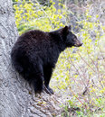 American black bear cub a medium sized native to north america bears climb trees with ease Stock Photo