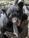 American black bear cub young climbing and chewing on an old tree root springtime in wisconsin Royalty Free Stock Image