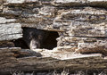 American black bear cub young peeks out of a hole in a fallen hollowed log springtime in wisconsin Stock Images