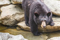 American black bear an drinks water from a mountain stream between rocks on grandfather mountain in western north carolina Royalty Free Stock Photography