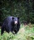 American black bear eating grass Stock Photography