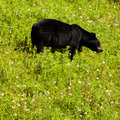 American black bear forage grassy meadow young ursus americanus foraging lush green grass Stock Photo