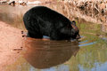 American black bear going into the water ursus americanus Stock Image