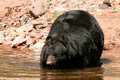 American black bear going into the water ursus americanus Royalty Free Stock Photos