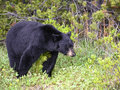 American black bear in jasper alberta an searching for food the spring national park canada Royalty Free Stock Image