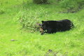 American black bear lying on the grass Stock Photo