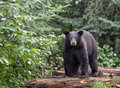 American black bear stands on logs alert yet cautious looking at the camera summer in northern minnesota Stock Image