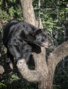 American black bear young sits on a tree branch safely looking at goings on down below summer in northern minnesota Royalty Free Stock Photo
