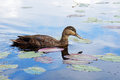 American black duck beautiful on a lake Royalty Free Stock Photo