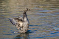 American Black Duck Stretching Its Wings on the Water Royalty Free Stock Photo