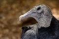 American black vulture Coragyps atratus Royalty Free Stock Photo