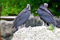 American black vultures two in zoo miami south florida Stock Images