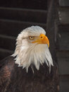 American bold eagle heraldic animal of the usa Stock Photos