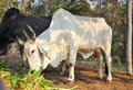 American brahman the breed has a distinct large boil over the top of the shoulder and neck and a loose flap of skin dewlap hanging Royalty Free Stock Photography