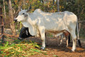 American brahman the breed has a distinct large boil over the top of the shoulder and neck and a loose flap of skin dewlap hanging Stock Images