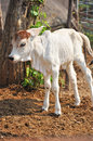 American brahman the breed has a distinct large boil over the top of the shoulder and neck and a loose flap of skin dewlap hanging Royalty Free Stock Image