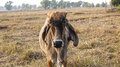 American brahman cow cattle closeup portrait Stock Photo