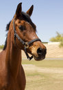 American bred brown gelding horse beautiful polo pony Royalty Free Stock Images