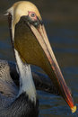 American Brown Pelican Royalty Free Stock Photo