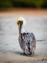 American brown pelican preening Royalty Free Stock Photo