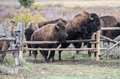American buffalo bison roaming in wyoming almost thousand animals reside in grand teton Stock Photo