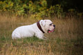 American buldog laying in the grass Royalty Free Stock Photography
