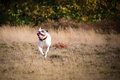 American buldog running with a wierd face Royalty Free Stock Photos